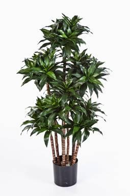 1 drachenbaum dracaena fragrans compact sk11. Black Bedroom Furniture Sets. Home Design Ideas