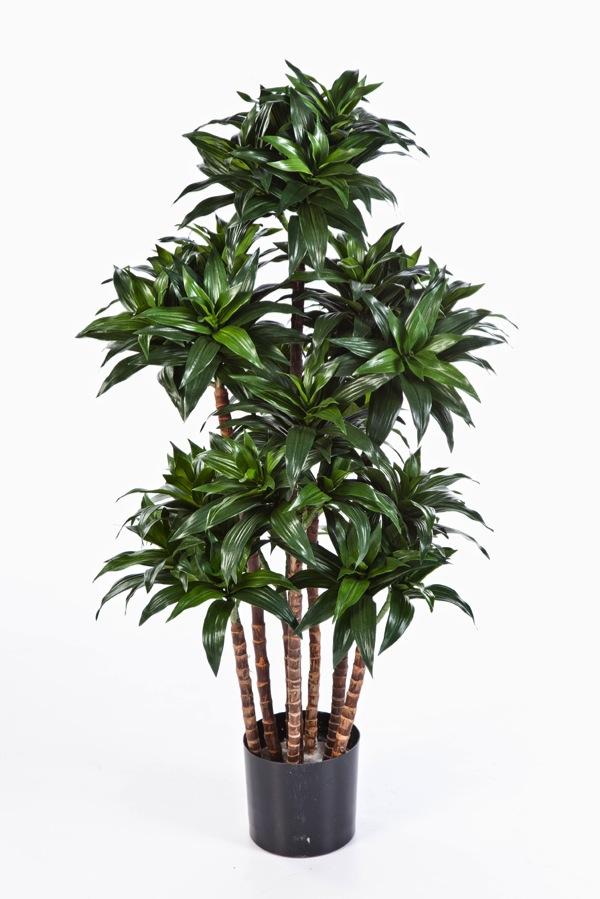 drachenbaum dracaena fragrans compact sk11. Black Bedroom Furniture Sets. Home Design Ideas