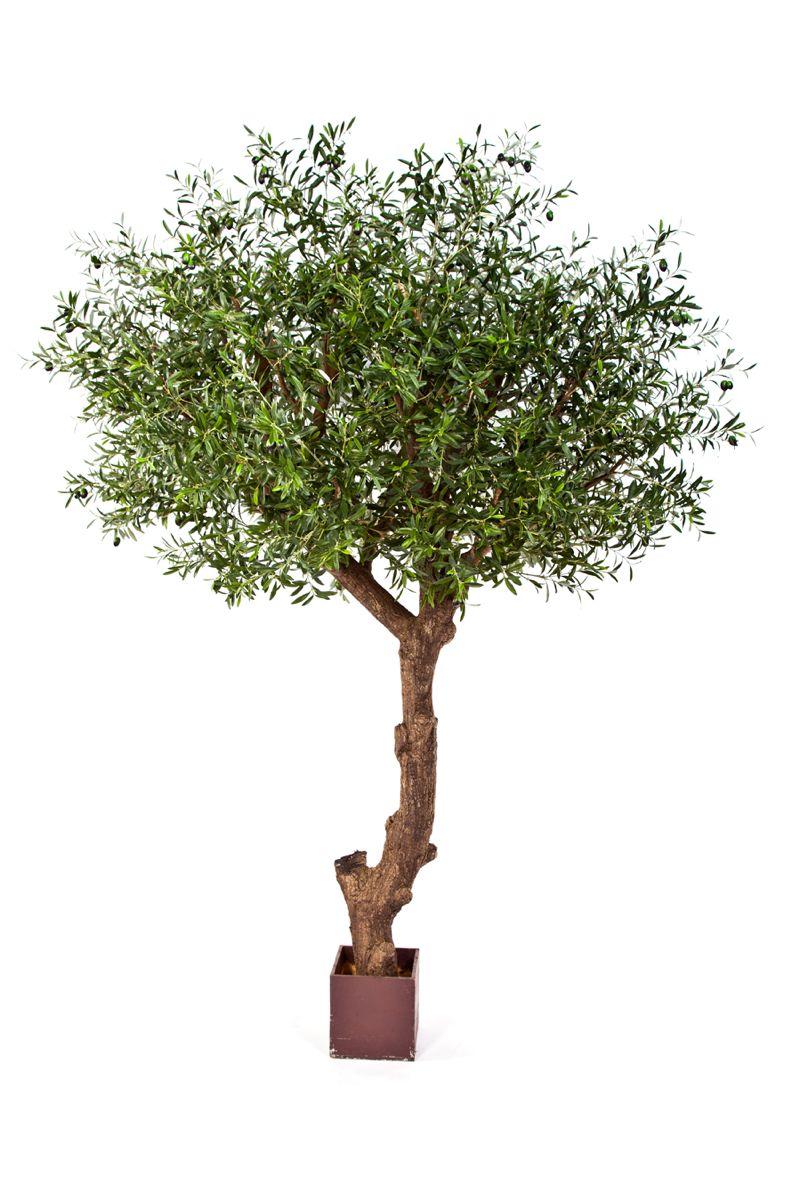 olivenbaum poly trunk dbs4. Black Bedroom Furniture Sets. Home Design Ideas